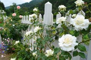 2014年6月6日ガーデン・バラ満開 014 圧縮