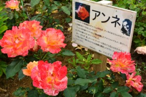 2014年6月6日ガーデン・バラ満開 028 圧縮