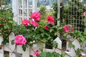2014年6月6日ガーデン・バラ満開 046   a