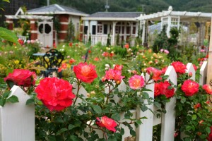 2014年6月6日ガーデン・バラ満開 058  圧縮