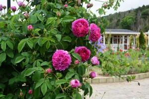 2014年6月6日ガーデン・バラ満開 064 圧縮