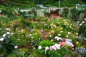 2014年6月6日ガーデン・バラ満開 087 a