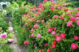 2015年5月31日ガーデン・バラ 005