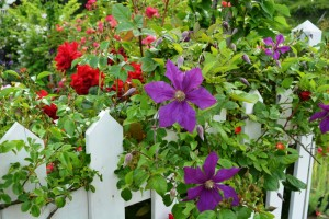 2015年5月31日ガーデン・バラ 015