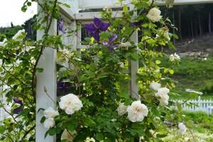 2015年5月31日ガーデン・バラ 019