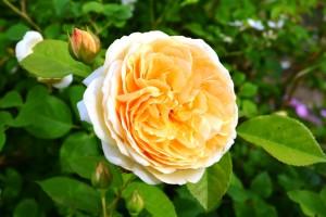 2015年5月31日ガーデン・バラ 022