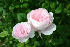 2015年5月31日ガーデン・バラ 024