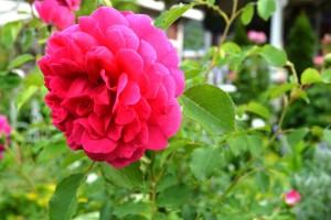 2015年5月31日ガーデン・バラ 054