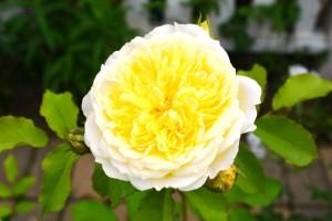 2015年5月31日ガーデン・バラ 057