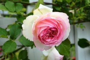 2015年5月31日ガーデン・バラ 058