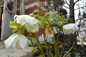 2015年3月29日制野、ガーデン花 014