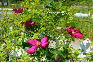 2015年5月17日ガーデン花・千葉大学 012