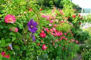 2015年5月30日ガーデン・バラ 015