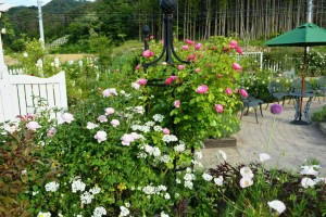 2015年5月30日ガーデン・バラ 028