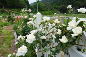 2014年6月6日ガーデン・バラ満開 012  圧縮