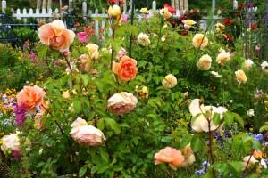 2014年6月6日ガーデン・バラ満開 029  圧縮