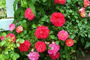2014年6月6日ガーデン・バラ満開 038  圧縮