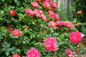 2014年6月6日ガーデン・バラ満開 039  圧縮