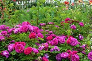 2014年6月6日ガーデン・バラ満開 042 圧縮