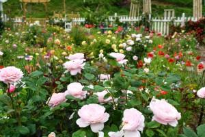 2014年6月6日ガーデン・バラ満開 067 圧縮