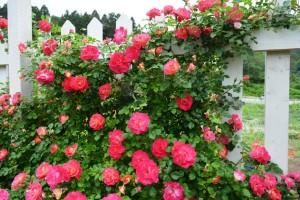 2014年6月6日ガーデン・バラ満開 095 圧縮